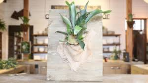 Staghorn Fern Low Light How To Mount A Staghorn Fern Sunset