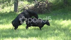 bulls and cows mating. Modren Bulls With Bulls And Cows Mating