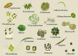 Sewagepondalgaemix Microscopic Algae Microorganisms