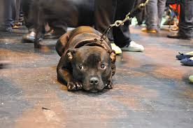 Staffy Colour Chart Breed Profile Staffordshire Bull Terrier
