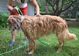 bathing a dog outdoors with a hose is a very convenient and less messy option for