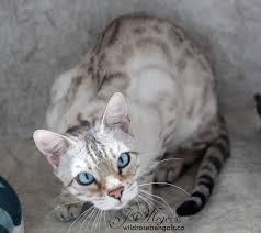 white bengal cat. Exellent Cat Wildrosebengals Canadian Breeder Of Brown Snow And Charcoal Bengal Cats To White Cat F