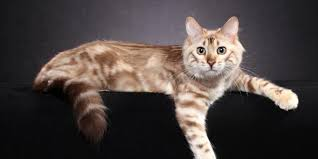 marble bengal cat. Brilliant Bengal Cashmere Long Haired Seal Minx Marbled Bengal In Marble Cat M