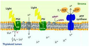 diagram of thylakoid wiring diagram used schematic mechanism of photosynthesis in the thylakoid membrane atp diagram of thylakoid