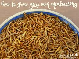 how to raise and breed mealworms for your ens