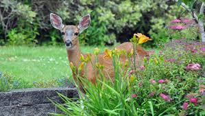 deer repellent for gardens. 10 Facts About Deer Repellent For Gardens