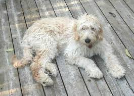Best Dog Food For Goldendoodles 4 Great Options Advice