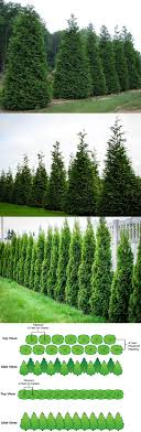 Thuja Green Giant Arborvitae (Thuja Standishii Plicata) - Zone Part to Full