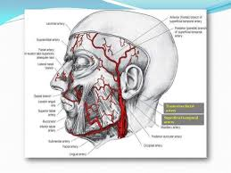 arteries of the face blood supply of face