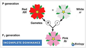 The first variant is termed dominant and the second recessive. Incomplete Dominance Definition And Examples Biology Online Dictionary