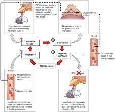 Hormones Anatomy And Physiology Ii