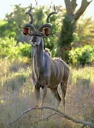 Small Picture The markings and cryptic coloring on their skin protect the kudus