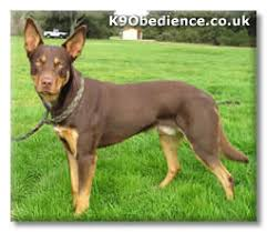 Kelpie Dog Breed Profile Size Weight Temperament Coat