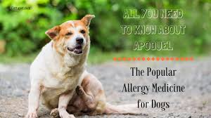 Everything on Apoquel: The Popular Allergy Medicine for Dogs | CertaPet