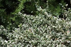 e fortunei emerald gaiety will grow into a 4 foot tall bush a ground cover or a small vine that clings to a support the leaves are green with a wide