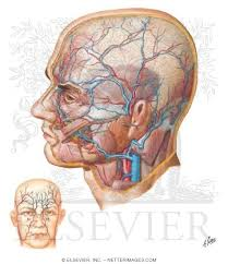 arteries of the face superficial arteries and veins of face and scalp