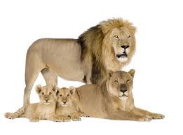 4k wallpaper white background family lion white background