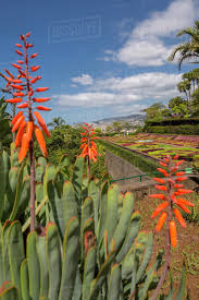 view of exotic flowers in the botanical gardens funchal madeira portugal atlantic europe