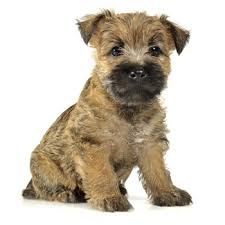 cairn terrier. Plain Terrier Photo Of Cairn Terrier Puppy For O