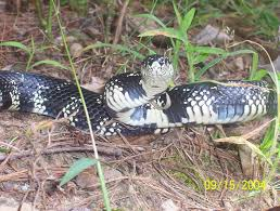 Black Snake With Diamond Pattern Amazing Design Ideas