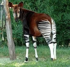 Episode 18: The Elusive Okapi - All Creatures Podcast