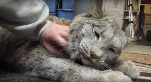 lynx size this canadian lynx is twice the size of a cat now watch his