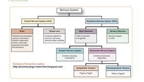 Nervous System Flow Chart Parts Of Nervous System Chart Www Bedowntowndaytona Com