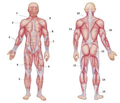 This is a table of skeletal muscles of the human anatomy. Diagram Of Body Muscles And Names Human Muscle System Functions Diagram Facts Britannica The Muscular System Consists Of Various Types Of Muscle That Each Play A Crucial Role In The