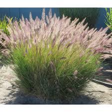 Pennisetum Setaceum Green Grasses Plant Type Boething Treeland