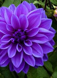 colored pictures of flowers.  Pictures Dahlia Lilac Time  Dinnerplate Type Beautiful Violet Colored Flowers  And Is An Excellent Choice To Grow In Your Flower Border To Colored Pictures Of Flowers