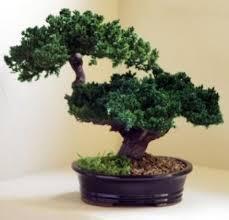 monterey double trunk preserved bonsai tree bonsai tree for office