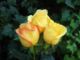 Image result for images of yellow rose hd