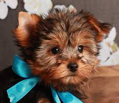 yorkie princess to those interested out there