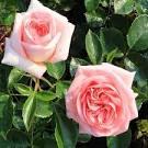 """Résultat de recherche d'images pour """"rosier parfumé fontaine aux perles"""""""
