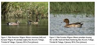 Add Mareca penelope (Eurasian Wigeon) to official SACC list