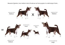 Chihuahua Color Chart Available