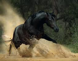 black arabian horse running. Fine Running On Black Arabian Horse Running G