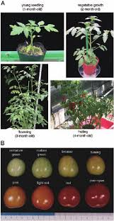 Tomato Seed Growth Chart Different Developmental Stages In Plants And Fruits Of