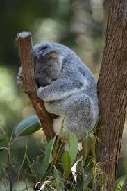 sleepy koala takes a snooze a sleepy koala takes a snooze
