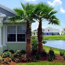 fan palm trees. fan palm trees v