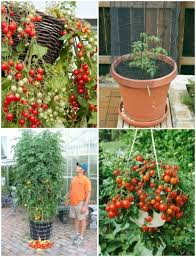 Wine Barrel Container Gardening  Edible Front Yard  Pinterest Container Garden Plans Tomatoes