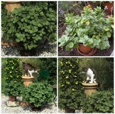 cat repellent for garden. Repellent · Another Name For Coleus Canine Is Scaredy Cats And Off Plant Cat Garden