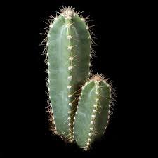 Image result for cereus