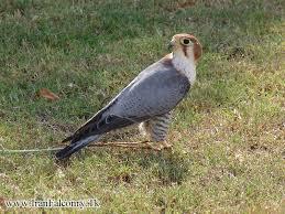 نتیجه تصویری برای پرندگان شکاری