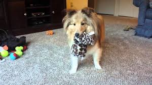 charlie the sheltie plays with new toy