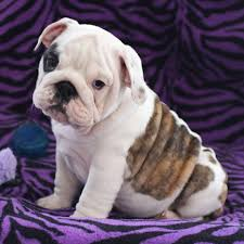 betterbulldog ma fl conscientious breeder of happy healthy akc registered english bulldog puppies in the new england and florida machusetts ma