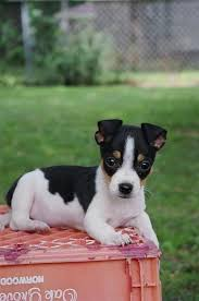 Rat Terrier Size Chart All Terrier Dogs Breed Info Rat Terrier Dog Breed Rat