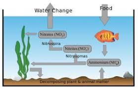 Molly Fish Care Description Fry Care Tank Mates Breeding