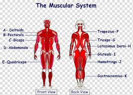 The Muscular System Anatomical Chart Human Body Muscle