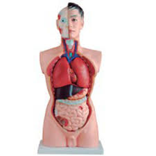 Organs In The Human Body 85cm 23parts Anatomical Body Organs Human Torso Model Buy Human Torso Model Anatomical Human Torso Model 85cm Human Torso Model Product On